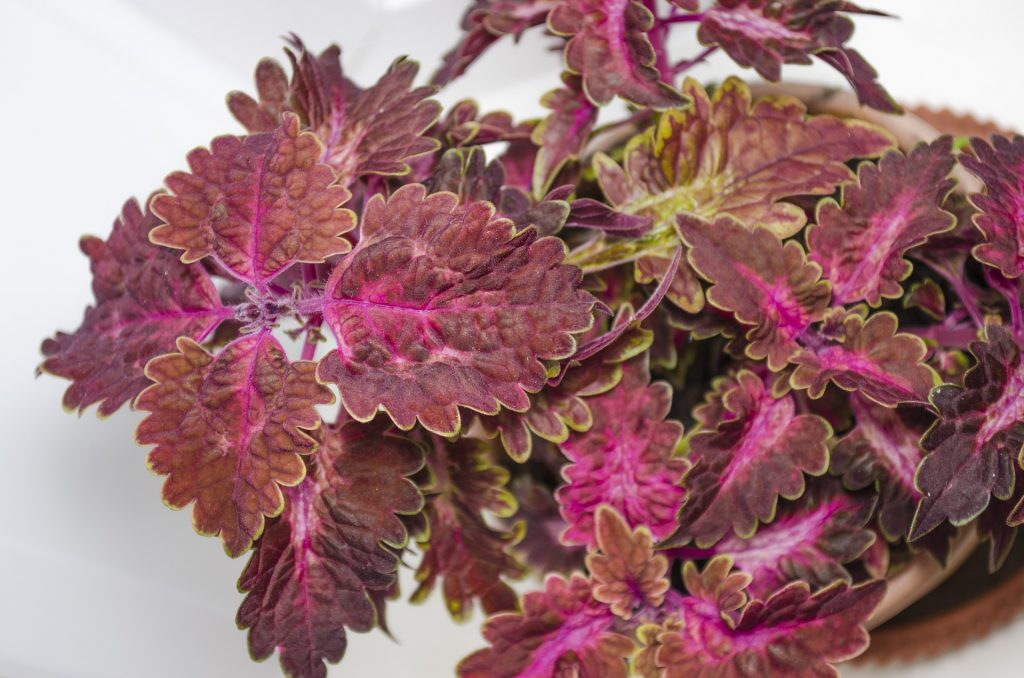easy plants to grow even if you have a green thumb: Coleus Plant