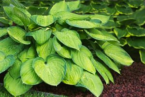 easy plants to grow even if you have a green thumb: Hosta plant