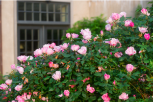 easy plants to grow even if you have a green thumb: Knock-Out Rose